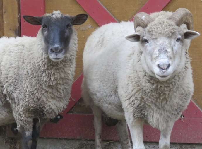 Siezed Sheep After Rehabilitation