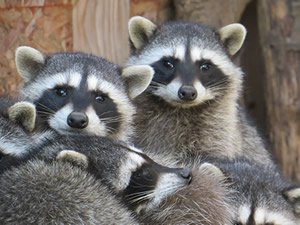 Picture of raccoons