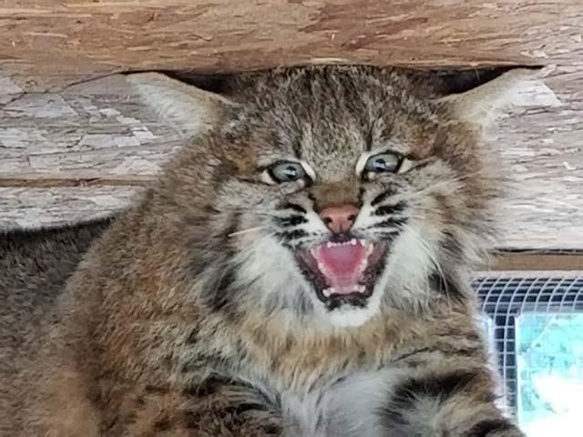 WL bobcat