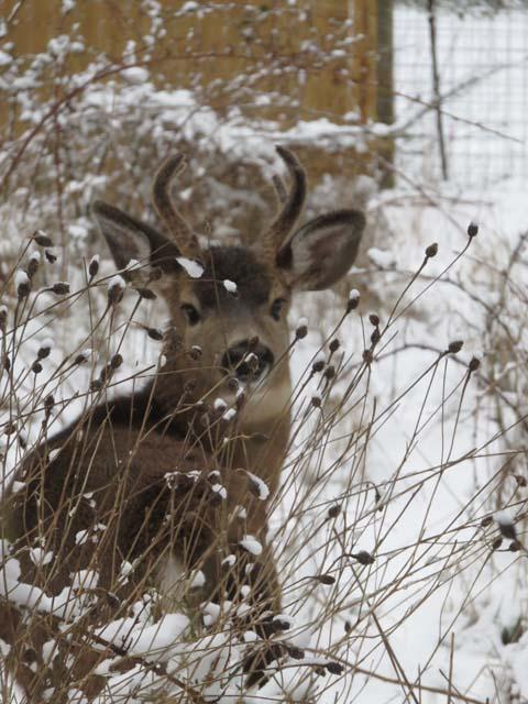WL deer 2