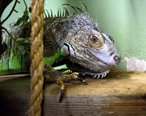 Gene the Iguana